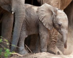A baby elephant in Samburu Reserve