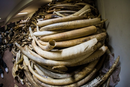 Ivory Stockpile at Kenya Wildlife Service