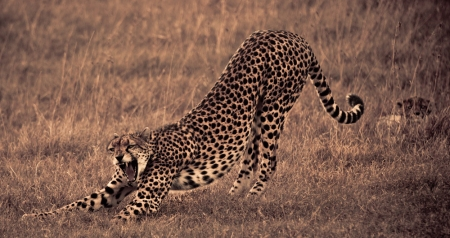 A Cheetah in the Ol Pejeta Conservancy
