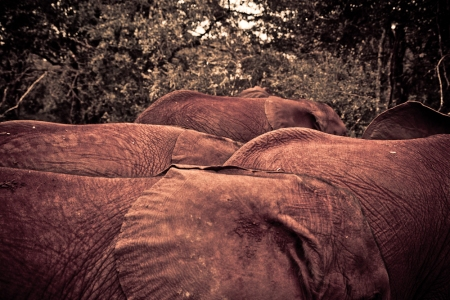 Orphaned Elephants at Daphne Sheldrick Orphanage
