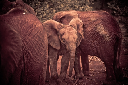 Orphaned elephants at the Daphne Sheldrick Orphanage