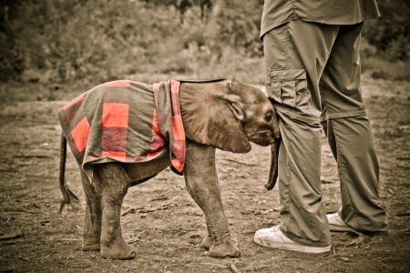 Yao Ming with Kinango, a two-week old orphaned elephant at Daphne Sheldrick Orphanage