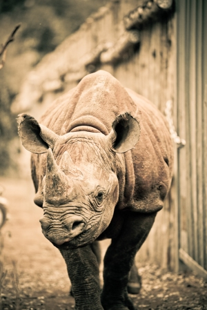 A Black Rhino Orphan at Daphne Sheldrick Orpahanage