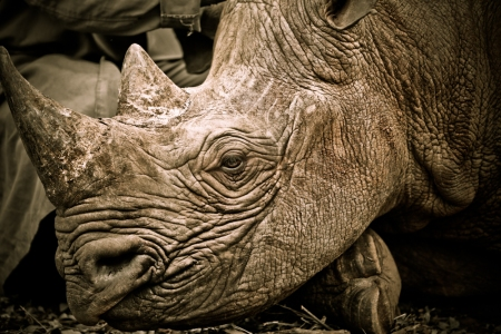 An Oprhaned Rhino at Daphne Sheldrick's Orphanage